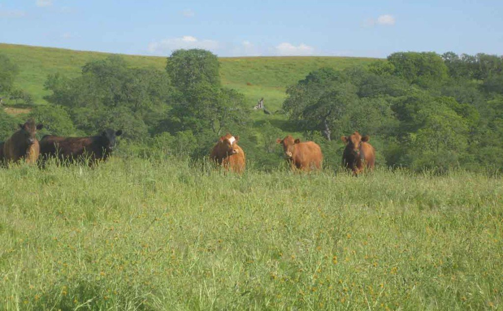brush-crush-cows-work-ranch